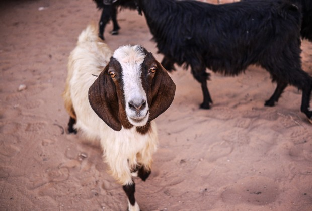 Goats Stealing Food in Wadi Rum